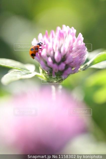 ムラサキツメクサの花とてんとう虫の写真・画像素材[1158302]