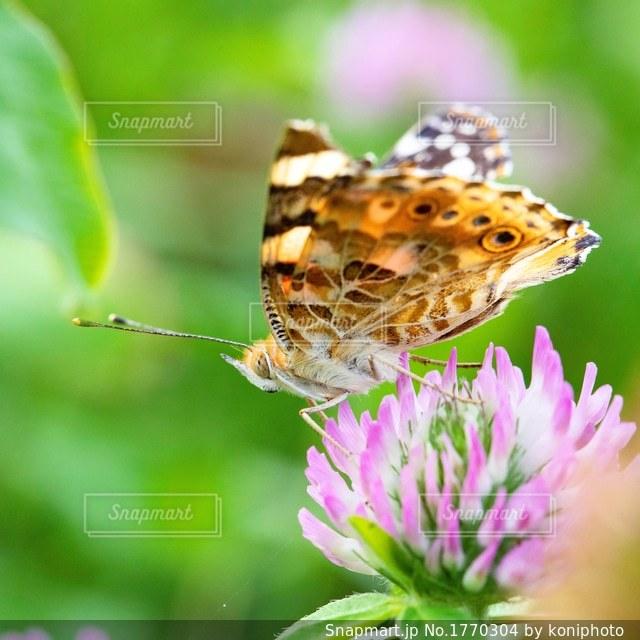 アカツメクサの花とチョウの写真・画像素材[1770304]