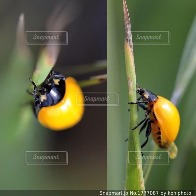 黄色のテントウムシの写真・画像素材[1777087]