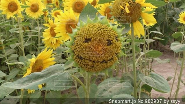 笑顔のひまわりの写真・画像素材[982907]