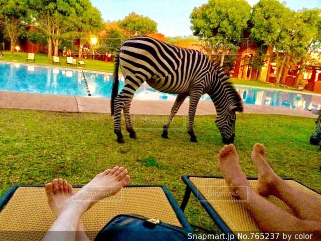 ホテルのプールサイドにゼブラが!!の写真・画像素材[765237]