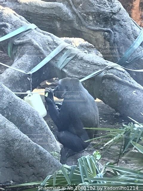 エサを食べるゴリラの写真・画像素材[1001102]