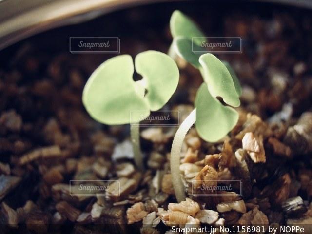 芽の写真・画像素材[1156981]