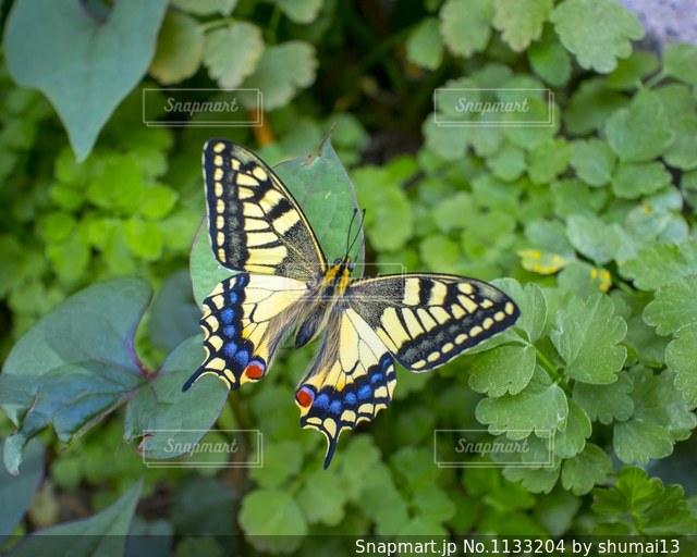 緑の葉に綺麗な蝶々の写真・画像素材[1133204]