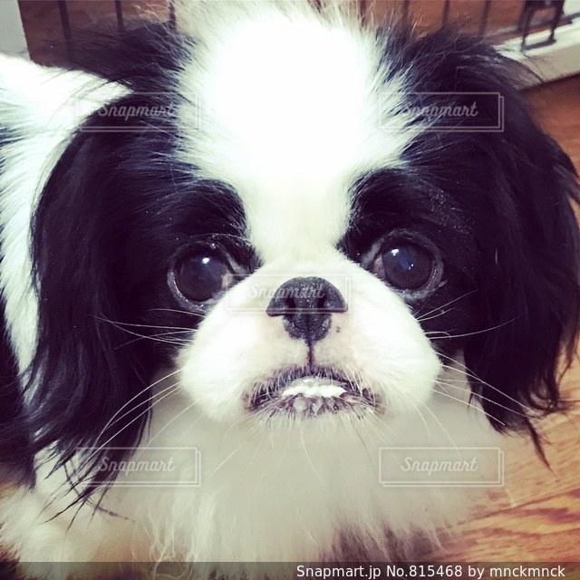 口にミルクをつけた白黒の犬(狆)の写真・画像素材[815468]