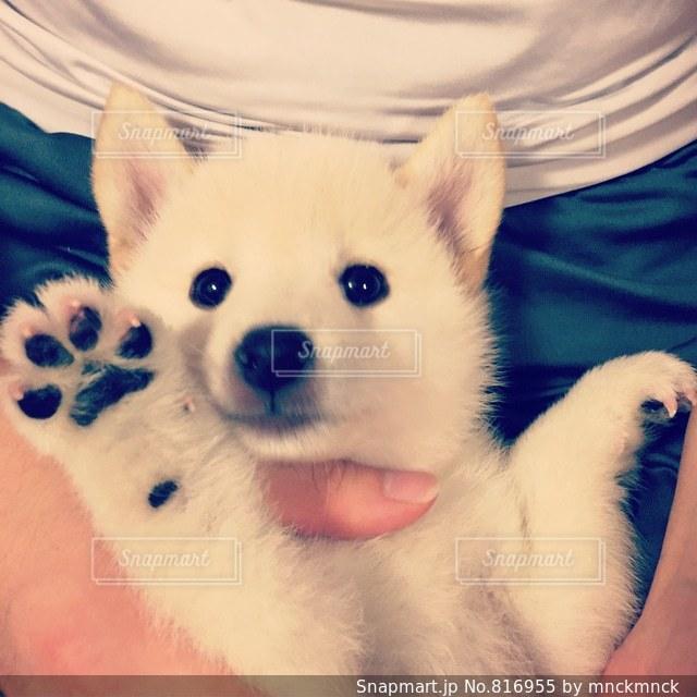 はーい!と手をあげる小さな白柴犬の写真・画像素材[816955]
