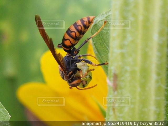 蜜を集める蜂の写真・画像素材[2419419]