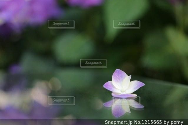 紫陽花の写真・画像素材[1215665]