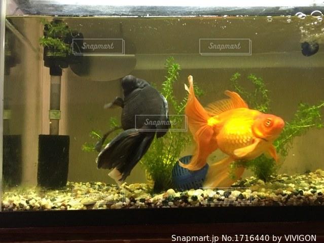 金魚の写真・画像素材[1716440]