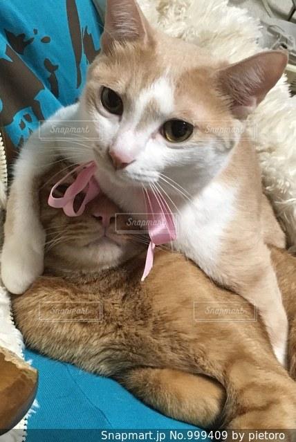 主人の上で寝ている猫の上に覆いかぶさる猫の写真・画像素材[999409]