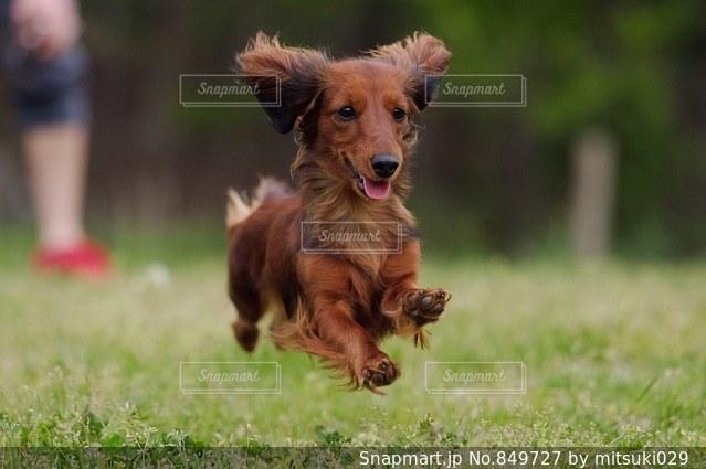 フリスビーをくわえて運ぶ茶色の犬の写真・画像素材[849727]