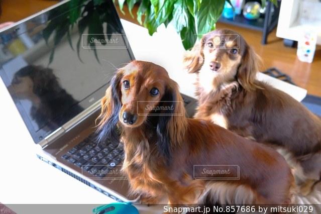 ノート パソコンのキーボードの上に横たわる犬の写真・画像素材[857686]