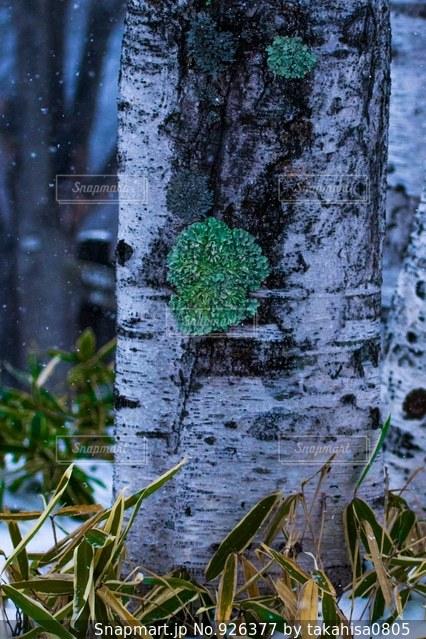 寒い冬を耐え忍ぶ地衣類の写真・画像素材[926377]