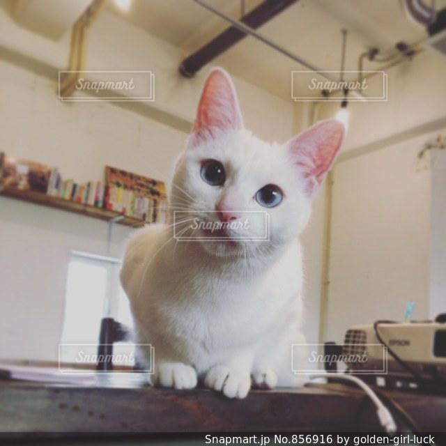 カウンターに座っている猫の写真・画像素材[856916]