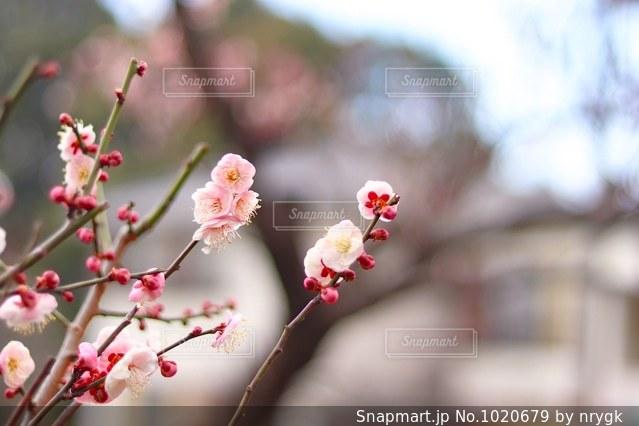 梅の花の写真・画像素材[1020679]