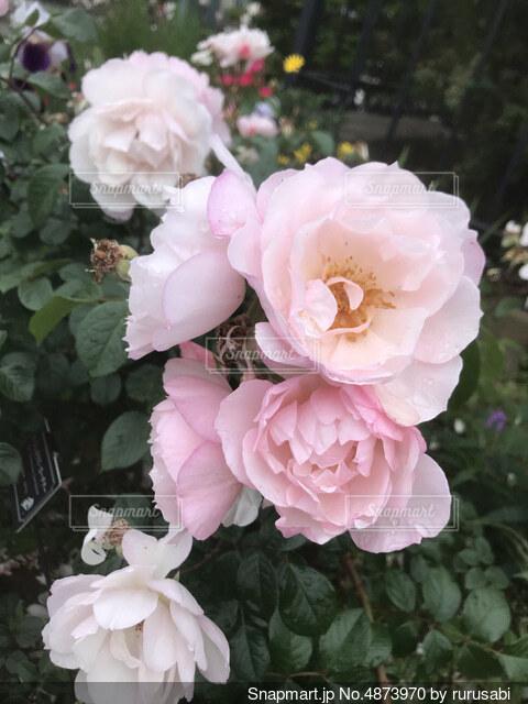 薔薇2の写真・画像素材[4873970]