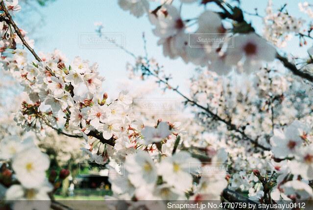 公園の桜の写真・画像素材[4770759]