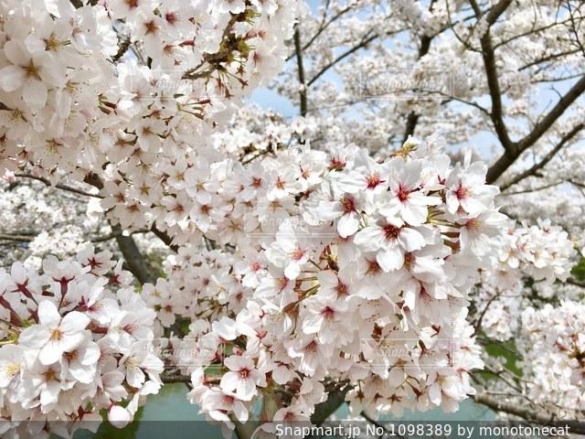 桜の写真・画像素材[1098389]