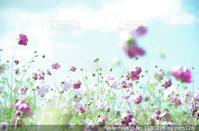 秋桜の写真・画像素材[1180276]