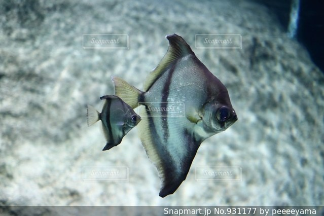 魚の親子の写真・画像素材[931177]