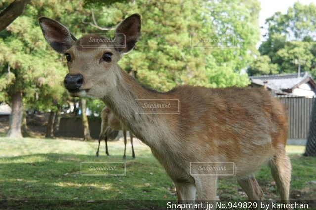 鹿の写真・画像素材[949829]