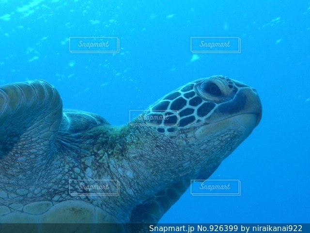アオウミガメの写真・画像素材[926399]