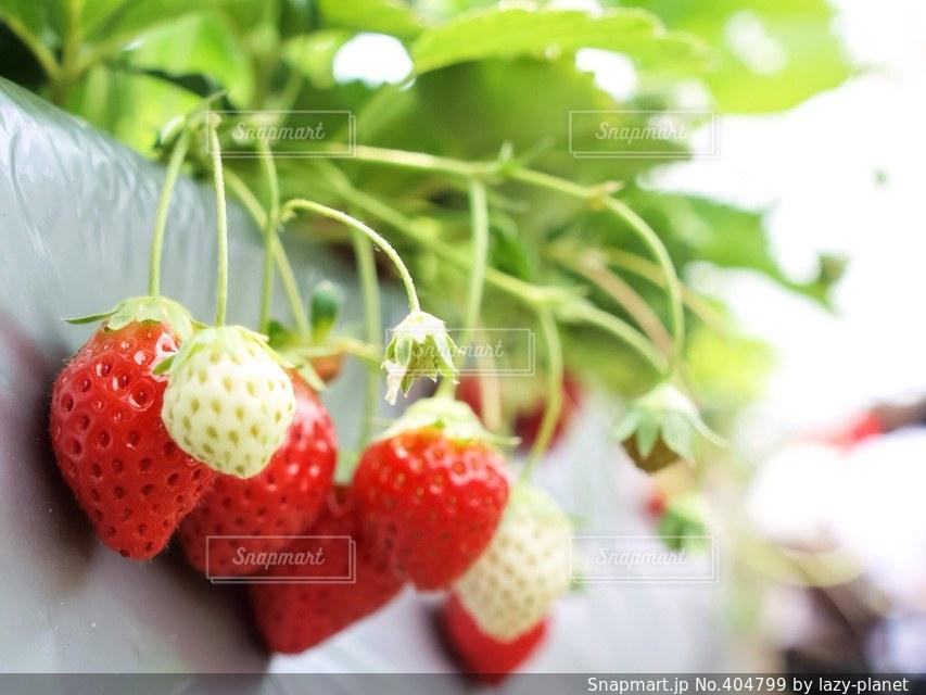 春,赤,いちご,苺,フルーツ,果物,ストロベリー,イチゴ狩り