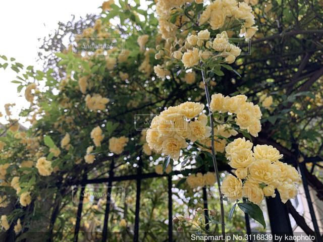 木香薔薇がからんだ門の写真・画像素材[3116839]