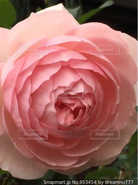綺麗なバラの写真・画像素材[953454]