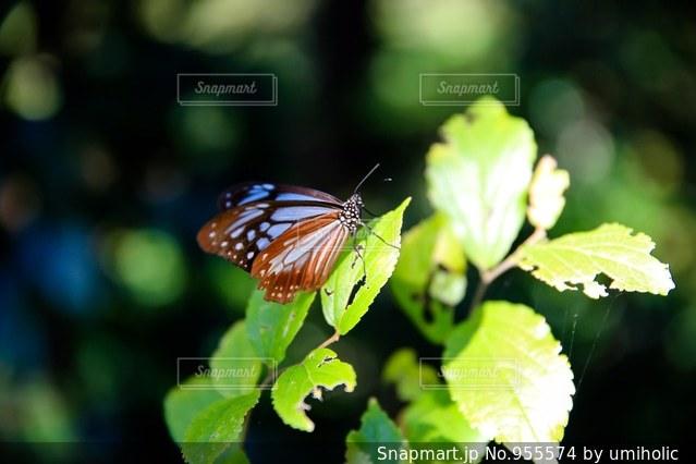 蝶の写真・画像素材[955574]