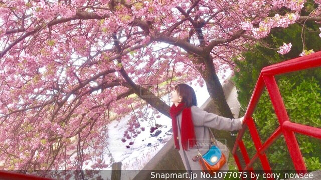 河津桜まつりの写真・画像素材[1077075]