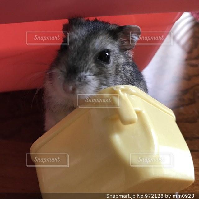 ご飯待ちのハムスターの写真・画像素材[972128]
