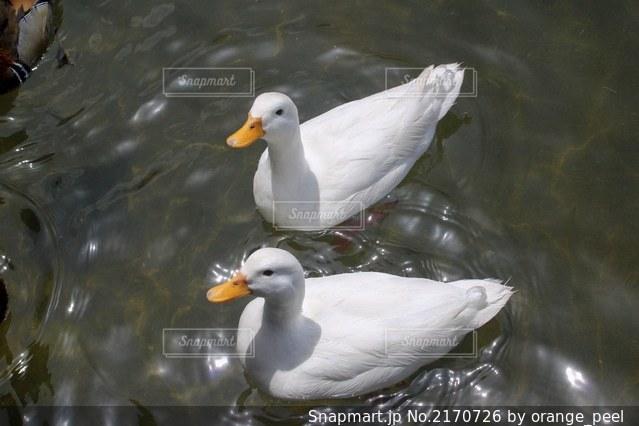 光る水面と2羽のアヒルの写真・画像素材[2170726]