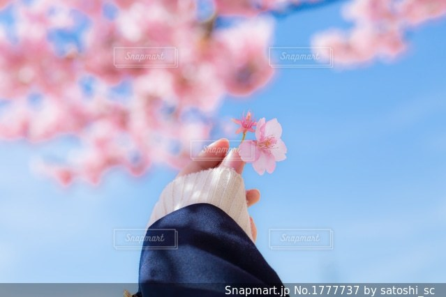 桜の花びらに手をやる女子高生の写真・画像素材[1777737]