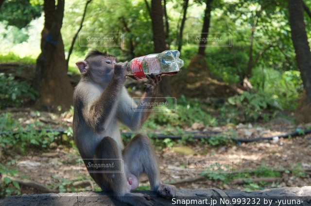 ジュースを飲む野生の猿の写真・画像素材[993232]
