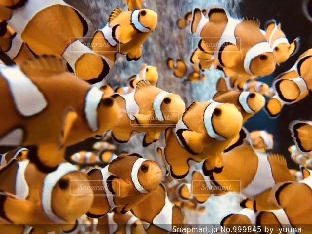 カクレクマノミの写真・画像素材[999845]