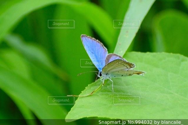 蝶の写真・画像素材[994032]