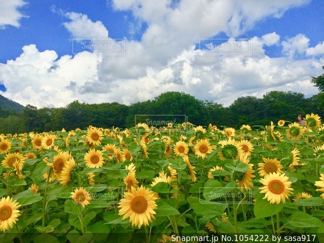 ひまわり畑の写真・画像素材[1054222]