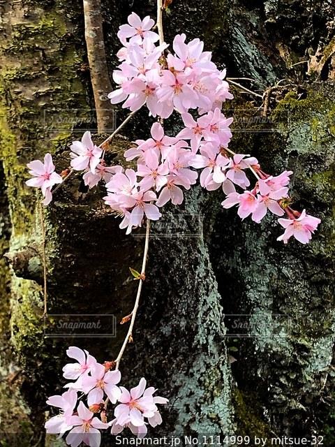 根元の桜の写真・画像素材[1114999]