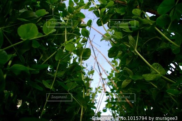 家庭菜園の写真・画像素材[1015794]