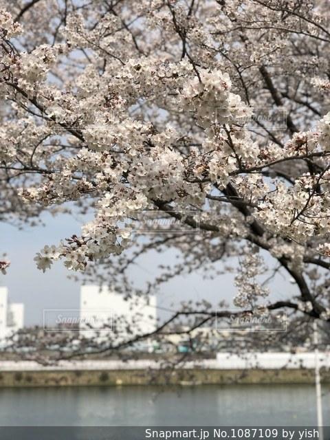 桜と川の写真・画像素材[1087109]
