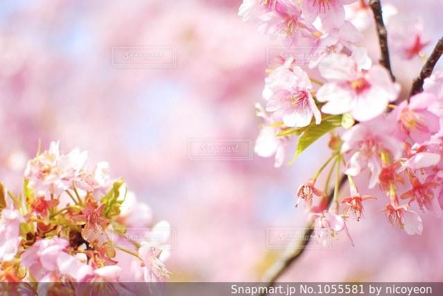 河津桜の写真・画像素材[1055581]