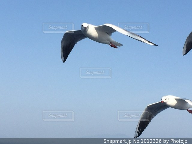 飛ぶカモメの写真・画像素材[1012326]