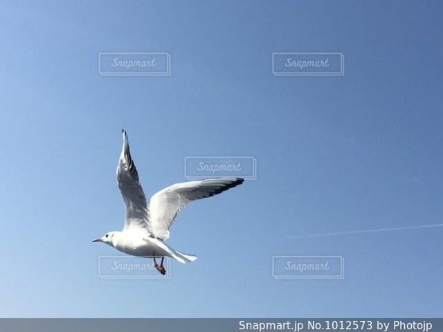 飛ぶカモメの写真・画像素材[1012573]