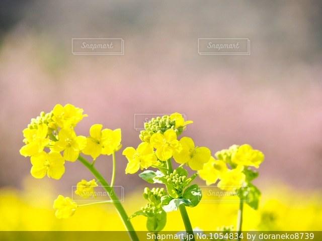 菜の花と桜🌸の写真・画像素材[1054834]