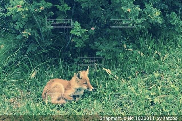 芝生で横になっている狐の写真・画像素材[1020011]