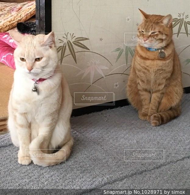 互いの上に座ってオレンジと白猫の写真・画像素材[1028971]