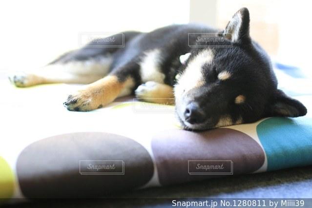座布団で横になっている黒犬の写真・画像素材[1280811]