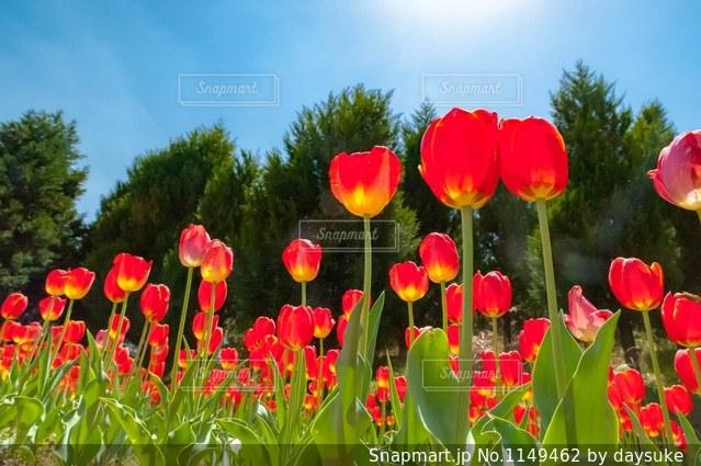 赤 チューリップの写真・画像素材[1149462]