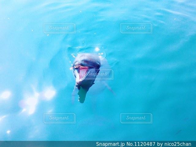 こちらに向かって鳴くイルカの写真・画像素材[1120487]